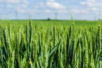BASF joins the International Wheat Genome Sequencing Consortium (IWGSC) to bring forward the next generation of hybrid wheat