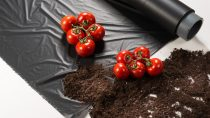 Certified soil-biodegradable ecovio® M 2351 for mulch films used in growing tomatoes