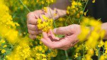Активи, які придбає BASF, включають в себе привабливий портфель насіння для каноли/ріпаку переважно у Північній Америці та Європі