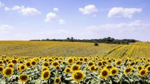 BASF enters the sunflower seed market to offer sunflower growers in Europe an even more comprehensive portfolio of agricultural solutions